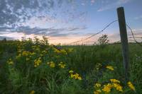 A Summer Evening Sky With Yellow Tansy Flowers And