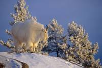 Mountain Goat On High Mountain Slope, Chugach Nati