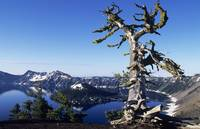 Oregon, Crater Lake National Park, Gnarled Pine Tr