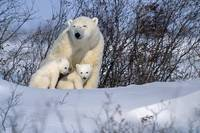 Polar Bear Sow And Cubs Resting In Snow, Churchill