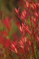 Bush Of Red Leaves