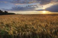 Sunset Over Field Of Ripe Barley, Alberta, Canada