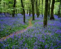 Bluebell Wood, Near Boyle, County Roscommon, Irela