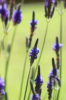 Close-Up Of Lavender Blossoms