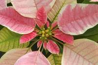 Close-Up Of Pink Poinsettia