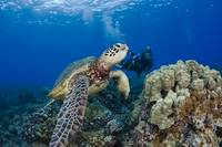 Green Sea Turtle, A Common Sight Around Hawaii, Be