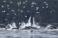 Humpback Whales Bubble Net Feeding For Herring, So