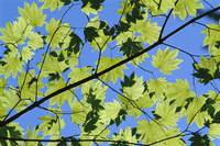 Close-Up Of Green Leaves On Maple Tree Against Blu