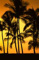 Hawaii, Big Island, View Of Palm Trees Silhouetted