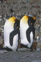 Pair Of King Penguins Sleeping Standing Up Next To