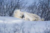 Polar Bear Sow and Cubs Resting In Snow Churchill