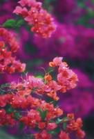 Hawaii, Maui, Wailea, Pink Bougainvillea Blossoms