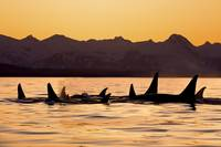 Silhouette Of A Pod Of Orca Whales In Lynn Canal,