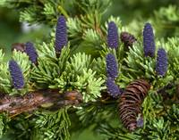 Newly sprouted spruce cones grow amidst last years