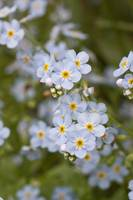 Close up of Forget Me Not Alaskas State Flower Gir