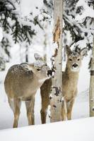 Two Young Deer In A Snow Chewing On Tree Bark, Alb