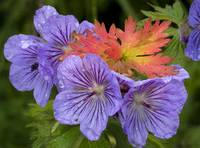 Wild Geranium blooms with premature fall leaf colo