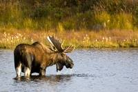 A large bull moose wades through a permafrost pond