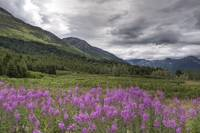 View of fireweed blooms in Turnagain Pass Kenai Pe