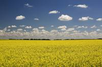 Flowering Canola Field With Clouds Overhead Alber