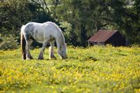 Horse Grazing In Field Of Buttercups
