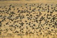 Shorebird flock at sunset during Homer Shorebird F