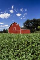 Soybean Field And Red Barn Near Anola, Manitoba, C
