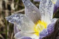 An Opened Prairie Crocus With Water Droplets Calg