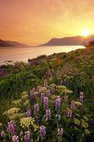 Wildflowers at Sunset Along Turnagain Arm Chugach