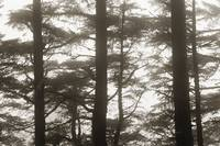 Oregon Coast, Cape Perpetus, Spruce trees in heavy