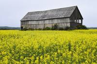 Canola Field And Old Barn, Bas-Saint-Laurent Regio