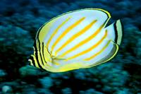 Hawaii, Ornate Butterflyfish Close-Up Side View