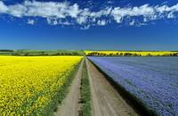 Road Through Flowering Flax And Canola Fields, Tig