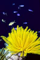 Papua New Guinea, Yellow Feather Star, Crinoidea,