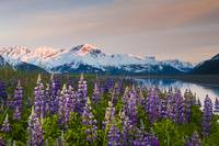 Scenic view of lupine along Turnagain Arm at sunse