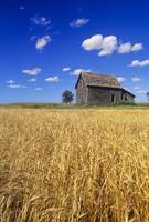 Old House And Mature Winter Wheat Field, Winnipeg,