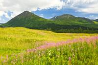 Summer scenic of Fireweed wildflowers in a green m