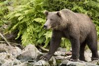 Adult Brown Bear standing on the rocky shore of Bi