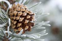 Close-Up image of frost-covered pine cone on branc