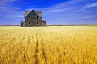 Abandoned Farmhouse In Wheat Field, Saskatchewan,