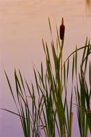 Cattails In Pond, Enterprise, Northwest Territorie