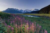 Fireweed Along Turnagain Arm Chugach Mountains SC