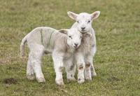 Two Lambs, Northumberland, England