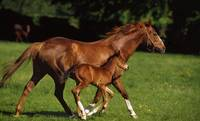 Thoroughbred Chestnut Mare and Foal, Ireland