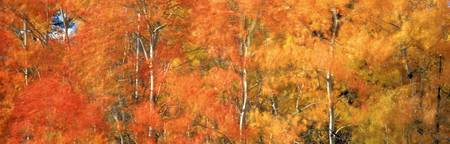 Aspens In Fall With Wind, Near 100 Mile House, Bri
