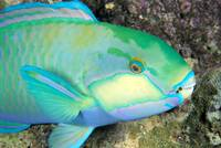 Indonesia, Bleeker's Parrot Fish