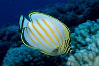 Hawaii, Ornate Butterflyfish