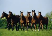 Thoroughbred Yearlings, County Meath, Ireland