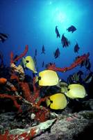 Hawaii, Butterflyfish, Coral, False Moorish Idols,