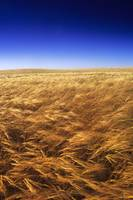 Ripening Wind-Blown Barley, Tiger Hills, Manitoba,